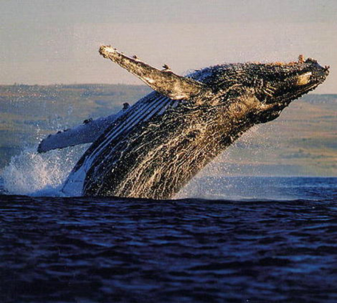 Whale Watching Guided Tours Kauai Hawaii
